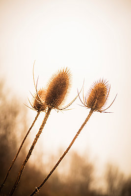 Three brown Teasel seed heads against a grey overcast sky with out of focus trees in the background. - p1302m2150086 by Richard Nixon