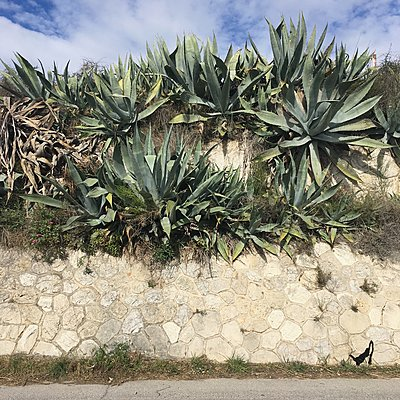 Stone wall overgrown with agaves - p1401m2260486 by Jens Goldbeck