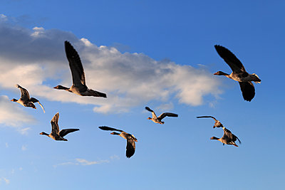 Geese - p417m1162951 by Pat Meise