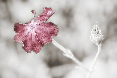 Carnation - p979m1078164 by Andreas Müller