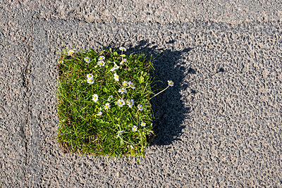 Square of garden turf with grass and small white daisy flowers on asphalt  - p1057m2099893 by Stephen Shepherd