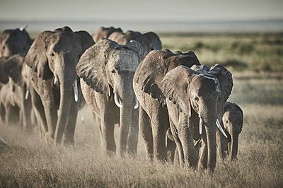 Group of elephants on the move, Kenya - p706m2158434 by Markus Tollhopf