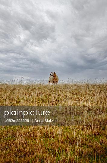 Sheep on the hill - p382m2283261 by Anna Matzen