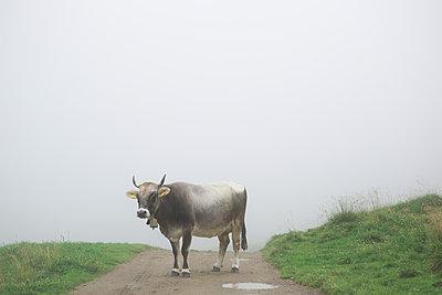 Kuh im Nebel - p1357m1207536 von Amadeus Waldner
