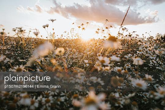 Sweden, Flower field  - p1507m2196144 by Emma Grann