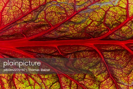 Chard - p803m2270197 by Thomas Balzer