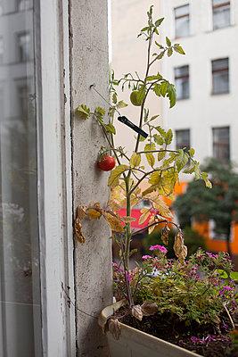 Tomatenpflanze - p361m901312 von Ute Behrend