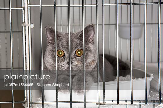Katze im Käfig auf einer Katzenshow - p1057m1564465 von Stephen Shepherd