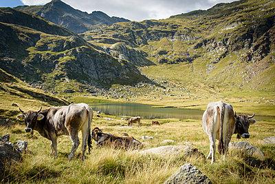 Kühe im Hochgebirge, Spronser Seen, Südtirol - p1273m1198516 von melanka