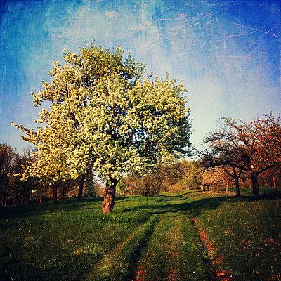 Germany, Baden-Wuerttemberg, Tuebingen, flowering apple trees - p300m1008861f by Larissa Veronesi