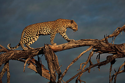 Leopard in tree - p884m863370 by Sergey Gorshkov photography