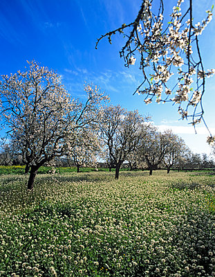 Almond flower - p885m1087429 by Oliver Brenneisen