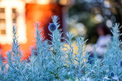Spiky flower in garden - p312m1229387 by Ulf Huett Nilsson
