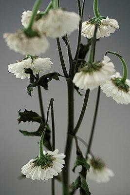 Wilted flower - p4950250 by Jeanene Scott