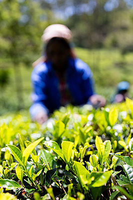 Woman who picks tea in the region of Hputale in Sri Lanka - p590m2090547 by Philippe Dureuil