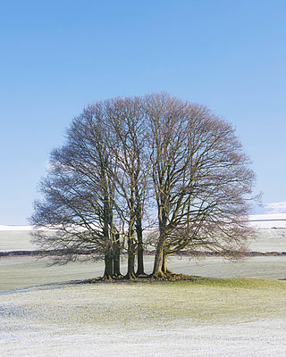 England, North Yorkshire, Gargrave. Copse of trees in the Yorkshire Dales. - p651m2152400 by Robert Birkby