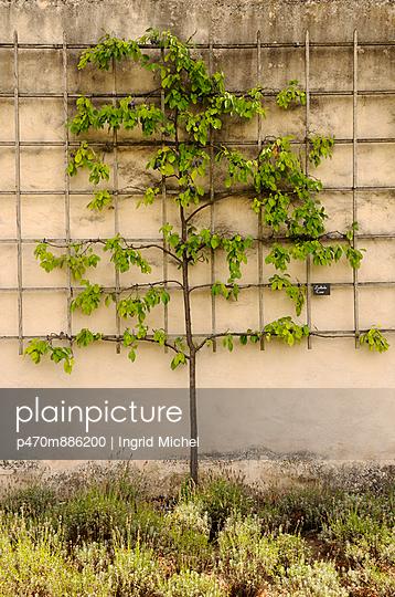 Spalierobst - p470m886200 von Ingrid Michel