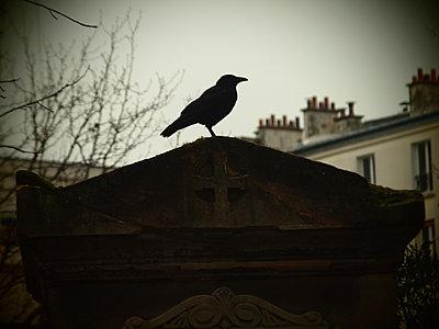 Raven on a graveyard - p132m2071280 by Peer Hanslik