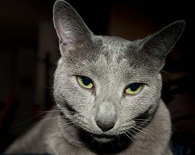Russian Blue cat, portrait - p300m878501 by Hartmut Loebermann