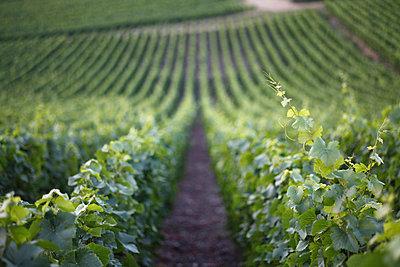 Downhill vineyard - p30119861f by Marc Volk