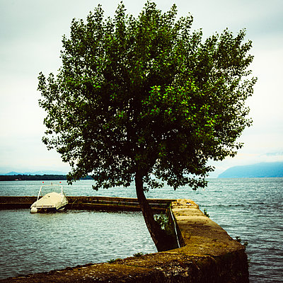 Tree on the shores of Lake Geneva. Haute-Savoie. France - p813m1461277 by B.Jaubert