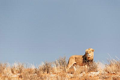 Eine Löwe in der Savanne, Kalahari, Südafrika - p1065m982676 von KNSY Bande