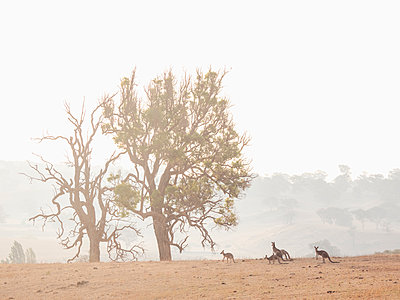 Kangaroos in dry field - p1427m2186476 by WalkerPod Images
