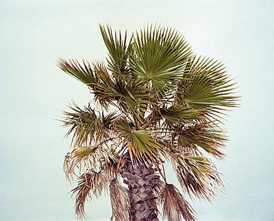 Palm tree - p1462m2146338 by Massimo Giovannini