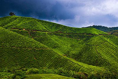 View of a tea plantation - p30119762f by Lothar Schulz