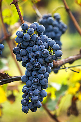 Cluster of purple grapes hanging from the vine; Caldaro, Bolzano, Italy - p442m1580455 by Michael Interisano