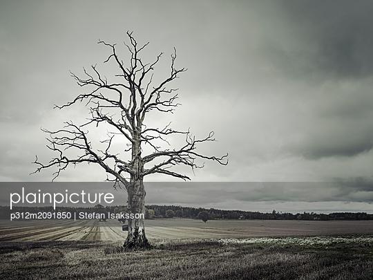 Dead tree in rural landscape - p312m2091850 by Stefan Isaksson