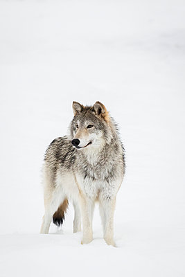 CAPTIVE: Female Tundra Wolf in snow, Alaska Wildlife Conservation Center, Southcentral Alaska - p442m1179927 by Doug Lindstrand