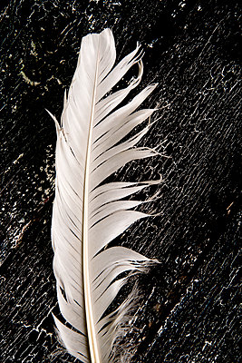 White feather - p451m972668 by Anja Weber-Decker