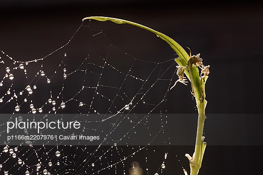 Small spider reaching a leg toward dew covered spiderweb - p1166m2207976 by Cavan Images