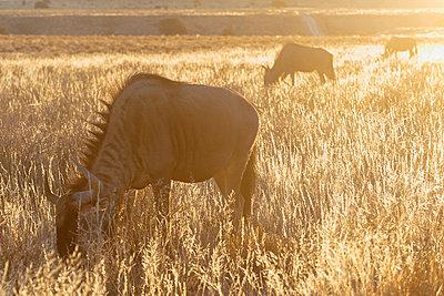 Grasende Gnus, Kalahari, Afrika - p1065m982603 von KNSY Bande