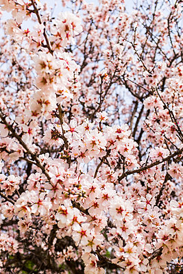 Almond blossoms  - p280m1111764 by victor s. brigola
