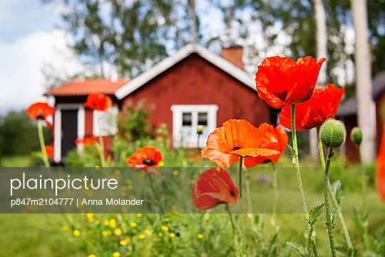 Beautiful Red Poppy Flower In Front Of Cottage, Sweden   - p847m2104777 by Anna Molander