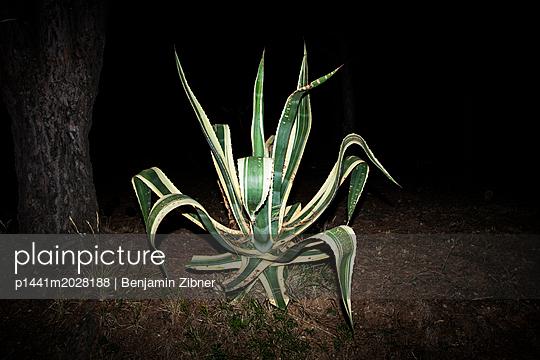 Agave - p1441m2028188 von Benjamin Zibner