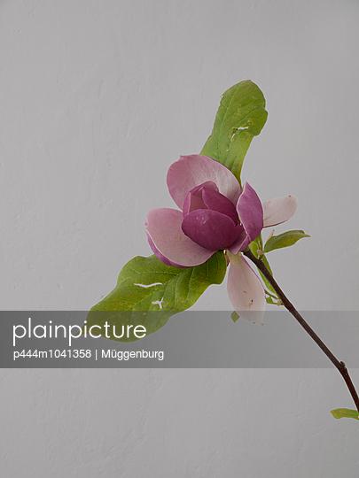 Magnolia - p444m1041358 by Müggenburg