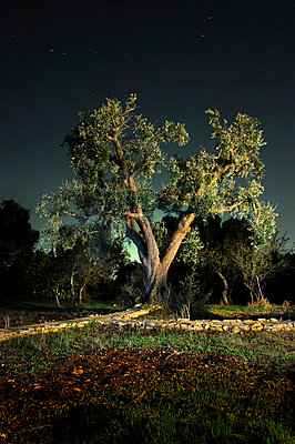 Old olive tree at night - p1072m829452 by Neville Mountford-Hoare