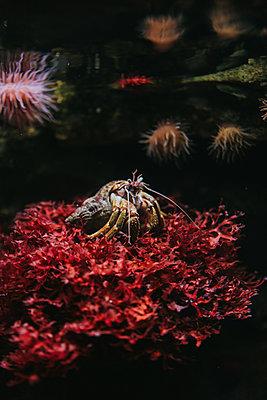 Crab in Stralsund Oceanario  - p1184m1222686 by brabanski