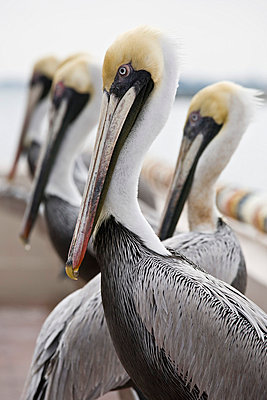 Pelican - p4880323 by Bias