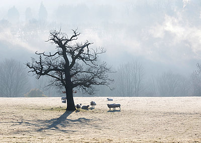 England, West Yorkshire, Calderdale. Sheep around a tree on a frosty winter morning. - p651m2152397 by Robert Birkby