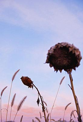 Sere sunflowers - p533m1573831 by Böhm Monika