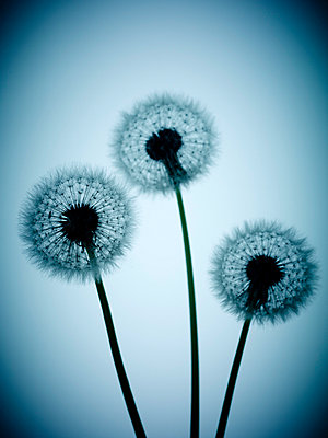 Three Dandelion clocks - p968m658864 by roberto pastrovicchio