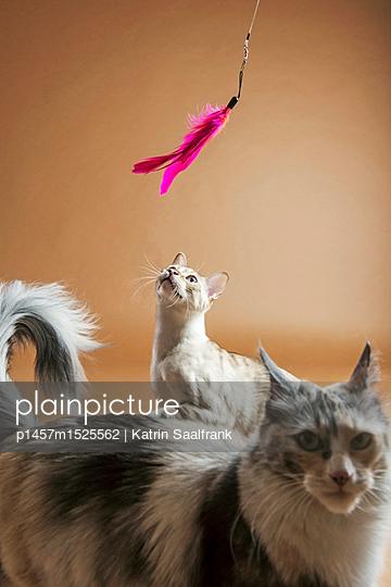 Katzen - p1457m1525562 von Katrin Saalfrank