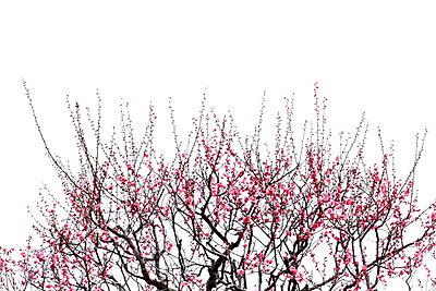 Plum blossoms - p307m962270f by Tetsuya Tanooka