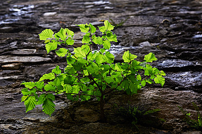 Beech sapling on rock face - p763m1160154 by co-o-peration