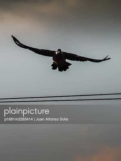 Bird of prey in flight - p1681m2283414 by Juan Alfonso Solis
