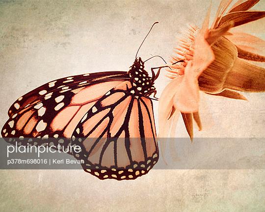 Pink butterfly on flower - p378m698016 by Keri Bevan